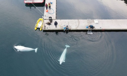 Beluga Whales Take First Swim In New Home
