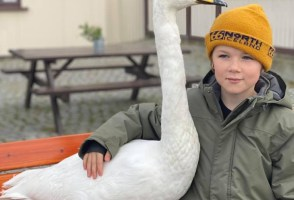 Child Befriends Swan–Iceland Swoons