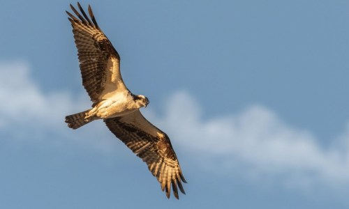 Falcon Population In Iceland Declining