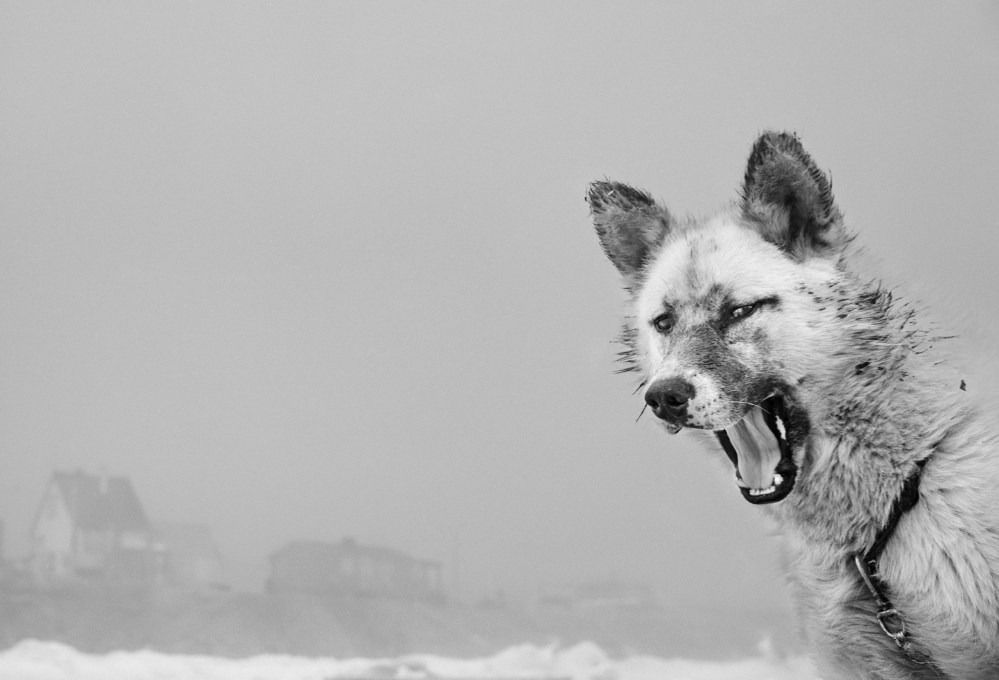 The Backbone Of The Arctic: Ragnar Axelsson Celebrates The Legacy Of The Greenlandic Sled Dog
