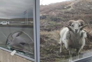 Ram Breaks Into Þingvellir: Wanted For Unpaid Damages