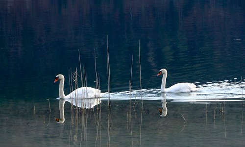 Possible Polar Bear Sighting Was Actually A Swan