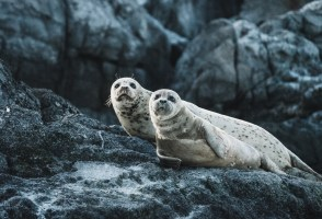 Latest Seal Census Reason For Optimism?