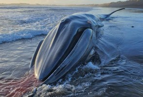 Beached Whale Discovered In South Iceland