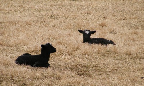 First Lambs Of Spring Arrive