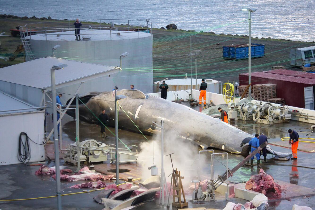 The Last Whaler: Why Is Whaling In Iceland Still A Thing?