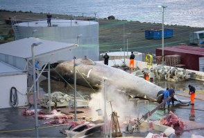 Icelandic Whalers Kill Protected Whale