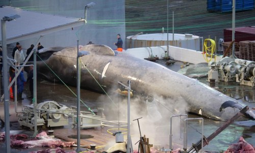 1,500 Tonnes Of Icelandic Whale Meat On The Way To Japan