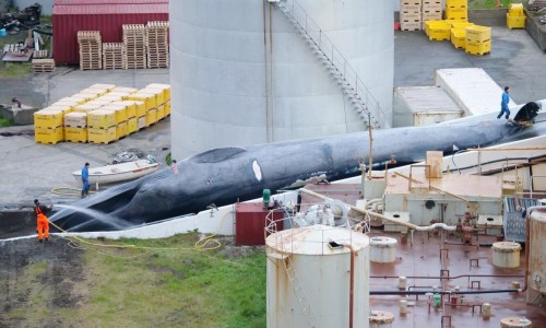 Icelandic Biologist Considers It Likely Killed Whale Is Rare Hybrid