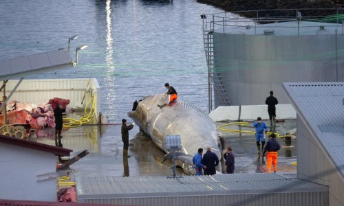 Iceland's Fishing Minister Green Lights Whale Hunting To 2023