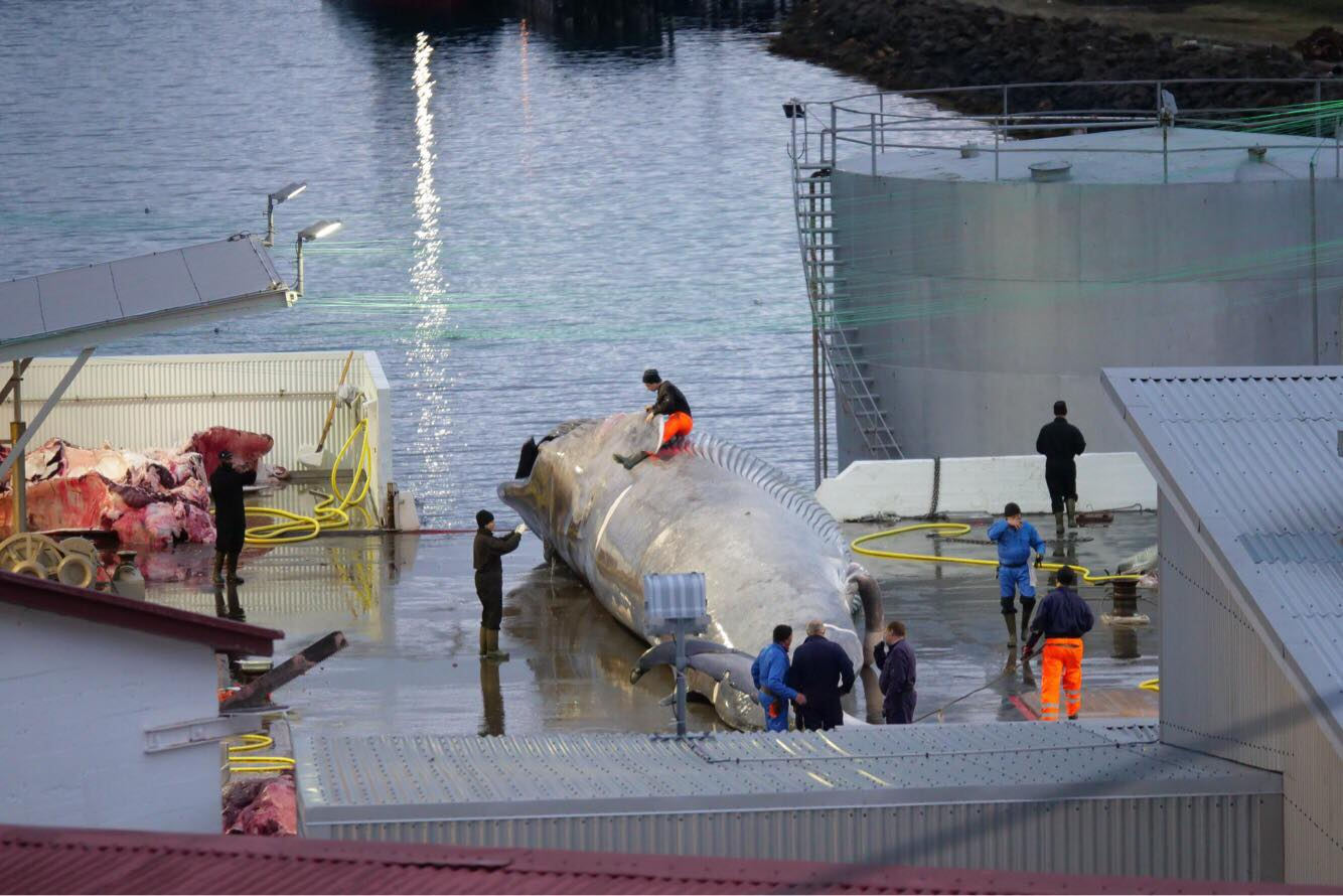 17 Scientists Back Statement That Icelandic Company Killed Blue Whale