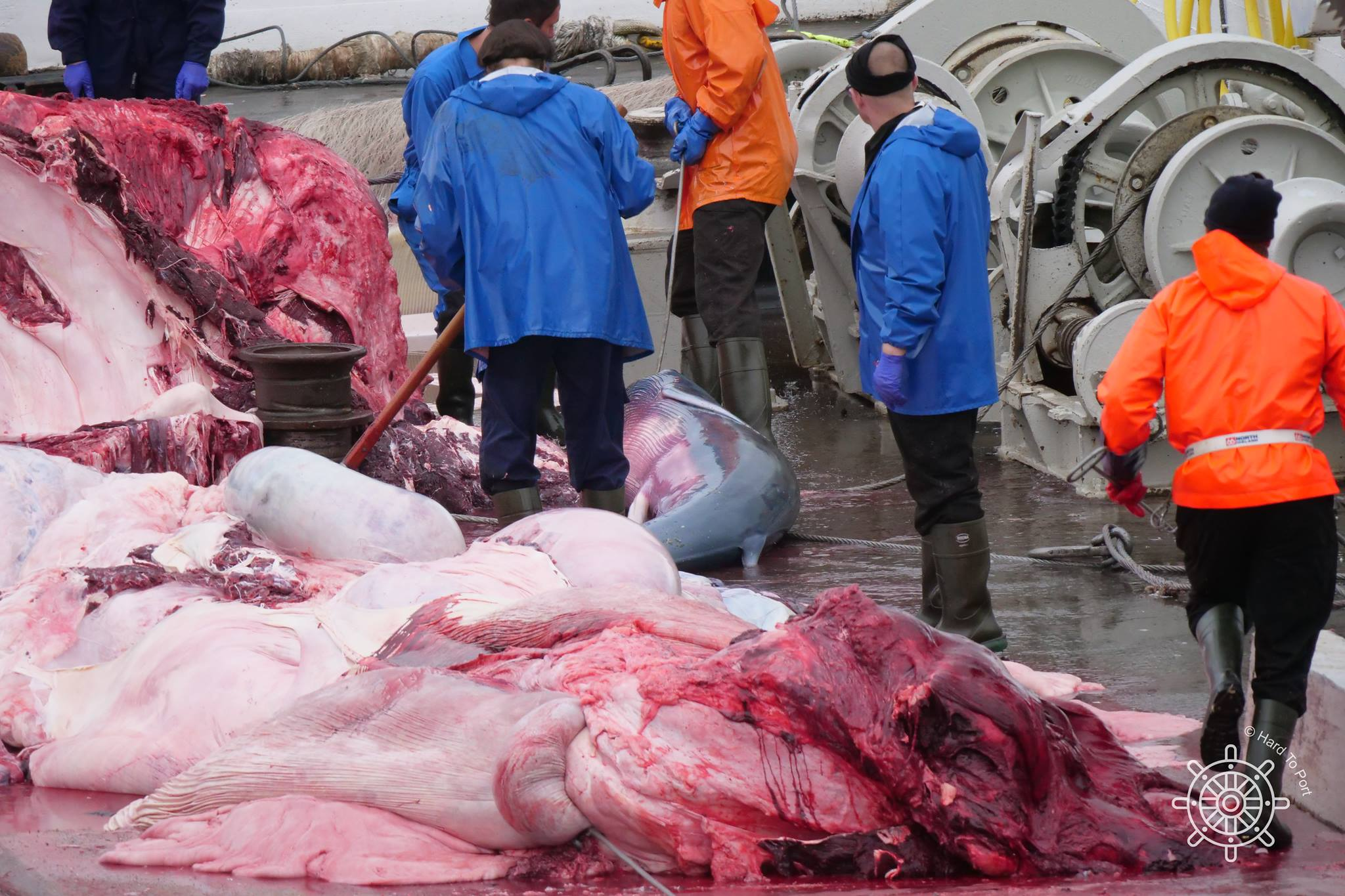 Icelandic Whalers Kill Pregnant Fin Whale