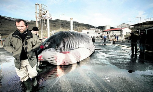 Iceland Using Canada As Whaling Stop