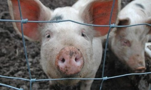 Pig Gelding Will Stop At Once