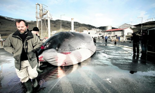 Japan Awaits Whale Meat Shipment From Iceland
