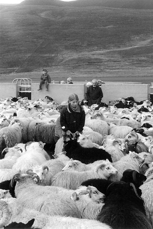 Traditional Icelandic Sheep Chaos