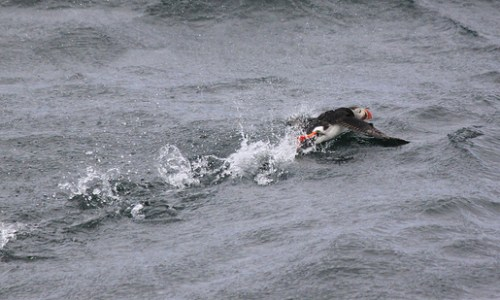 "Puffin Hunting ""Unsustainable And Unethical"""