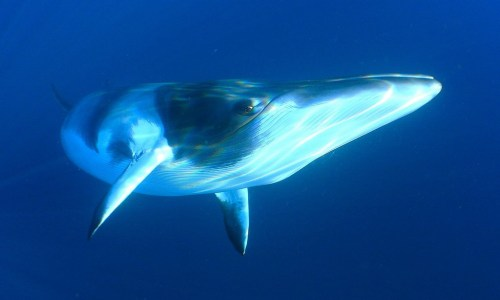 Beasts Of Iceland: The Minke Whale