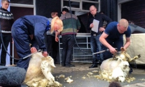 Hostel Hosts First Sheep Shearing Contest
