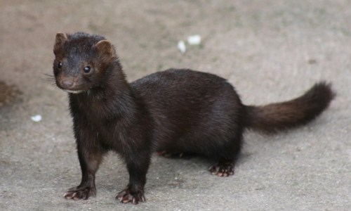 Mink Farms In Iceland Failing, Want Government Subsidies