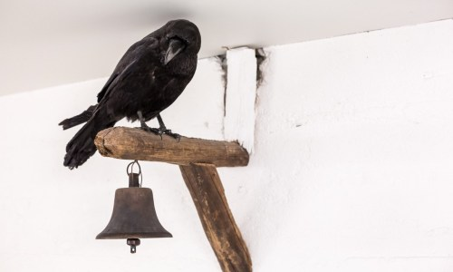 People Are Feeding Ravens In The Westfjords