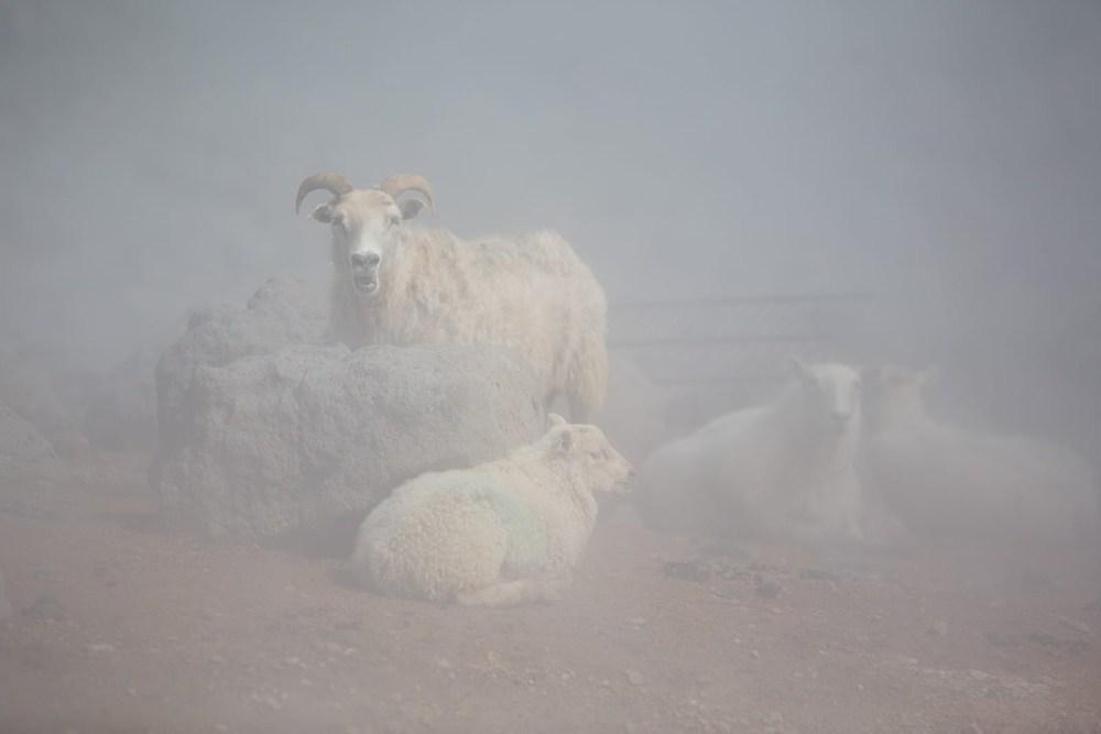 Iceland's Looming Sheep Crisis