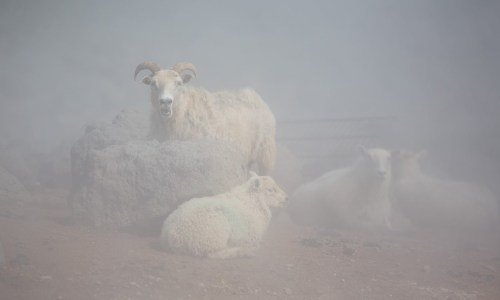 Iceland's Looming Sheep Crisis