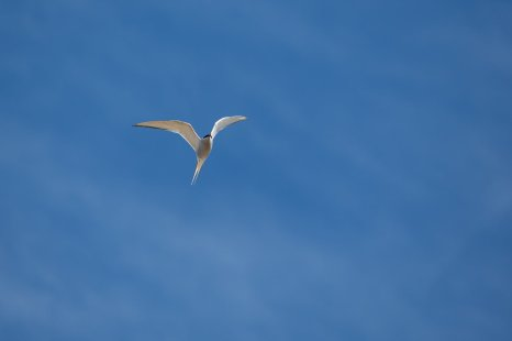 Just one of millions of arctic terns