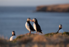 Food of Iceland: Puffin