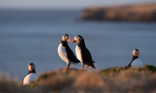 Iceland's Beloved Puffin Now Officially Endangered