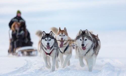 Huskies Unchained: A Day Of Dog Sledding In Northern Iceland