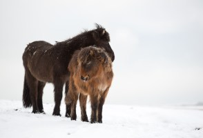 Icelandic Superstitions: The Fierce Viking Horse Trapped In A Pony's Body