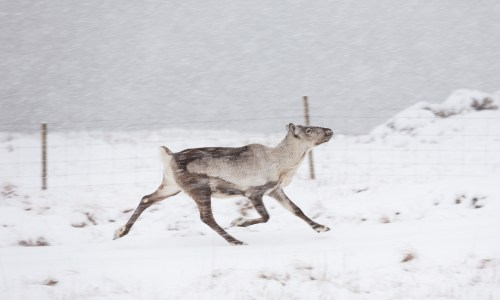 Four Reindeer Killed By Vehicles Since Mid-December