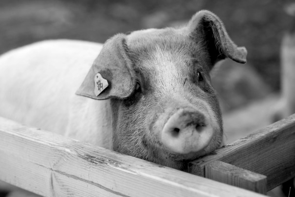 Pig. Photo by Art Bicnick