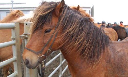 Food Of Iceland: Horse