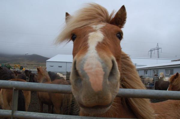 Horseback riding in Hveragerði. Photo by Sarah Pepin.