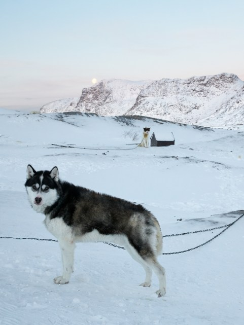 Dogs In Sisimiut