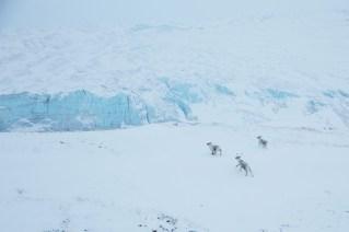 Reindeer In Kangerlussuaq