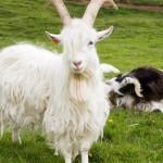 Háafell.Goats