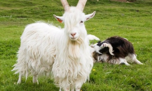 Time's Ticking For The Icelandic Goat