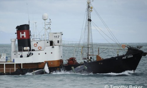 Whale Hunting Season Is Over