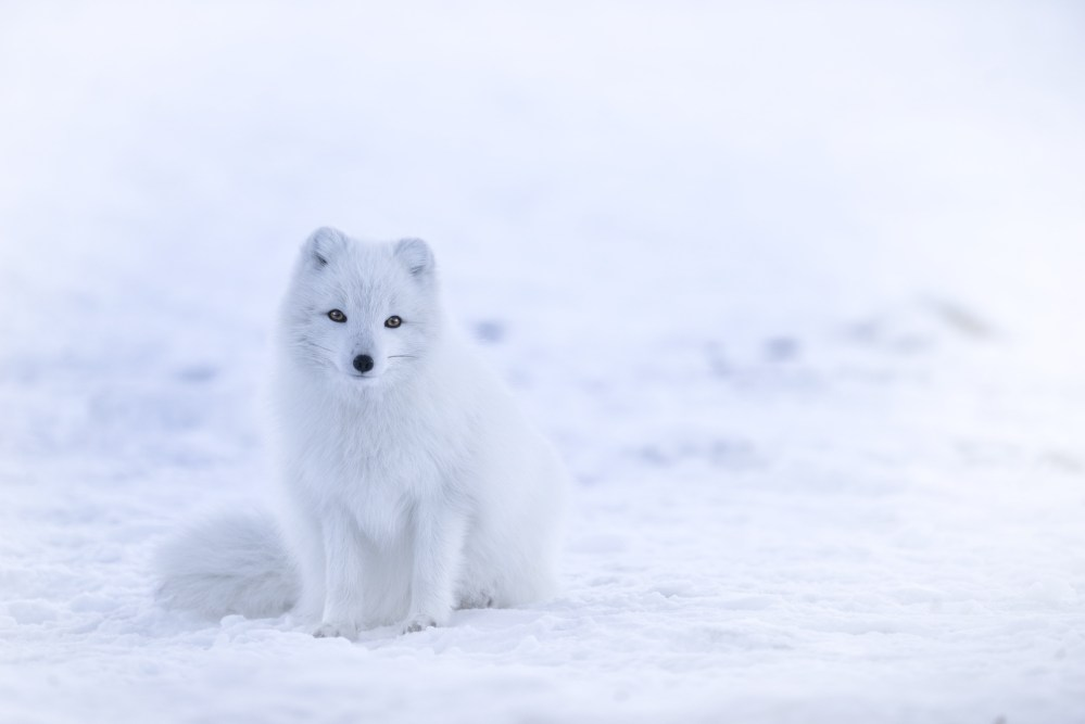 Beasts Of Iceland: The Arctic Fox