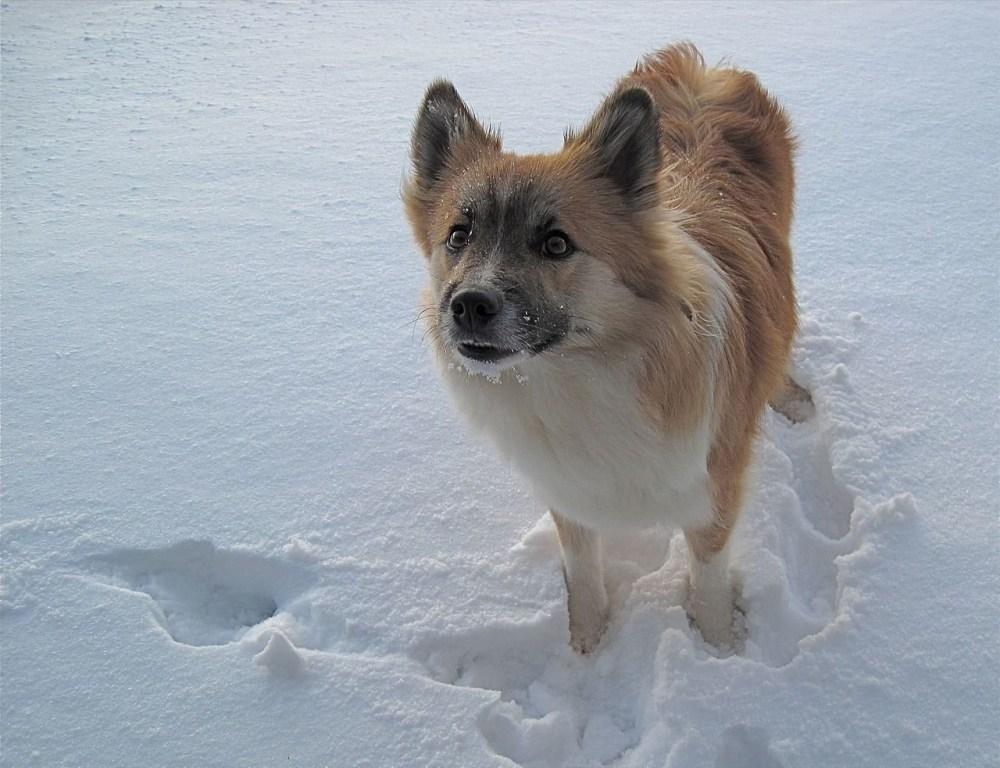 Beasts Of Iceland: The Icelandic Sheepdog