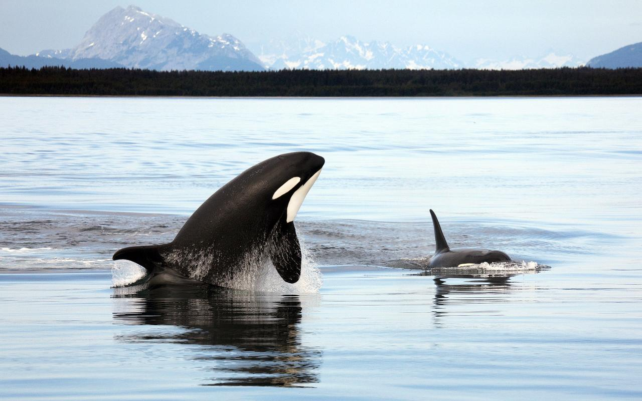 Newborn killer whale named by contest participants the reykjavik newborn killer whale named by contest participants altavistaventures Images