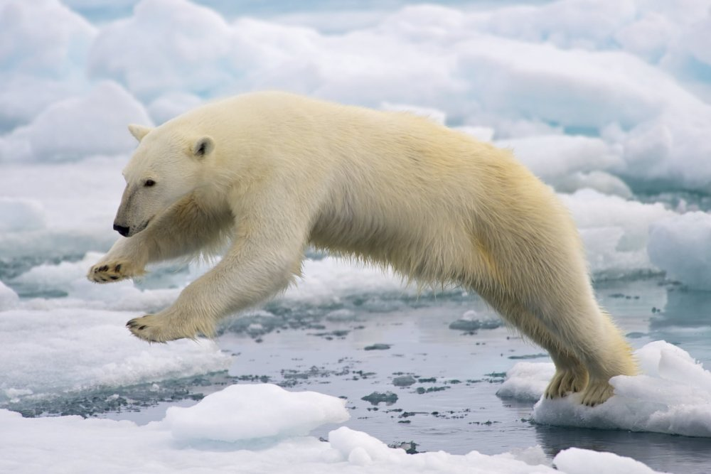 Killed Polar Bear Had Newly Given Birth