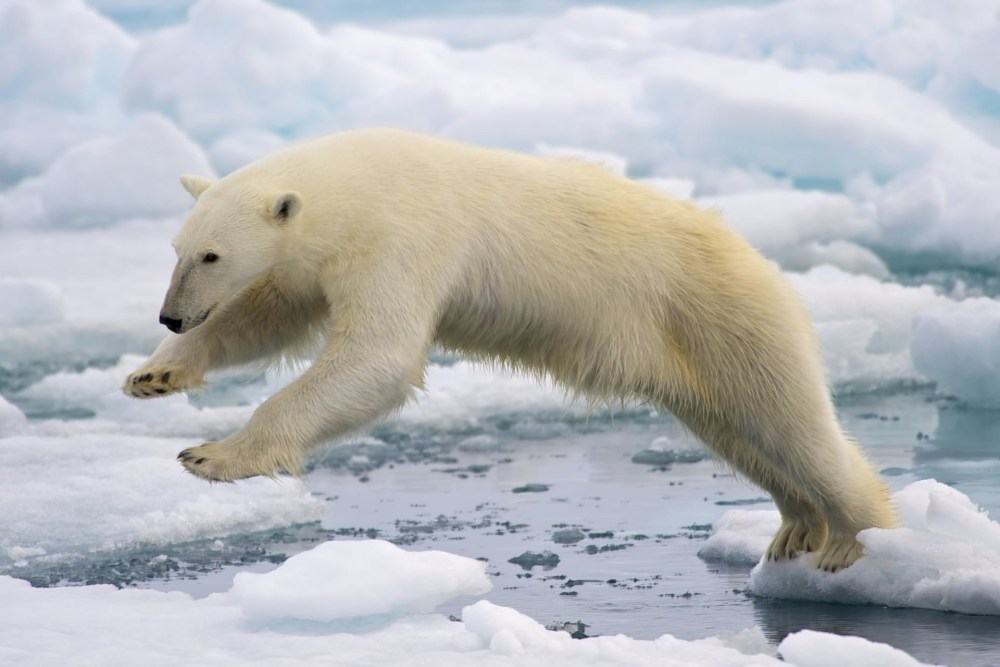 For & Against: The Humane Treatment Of Polar Bears