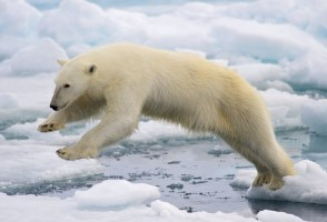 Search For A Polar Bear In The Westfjords