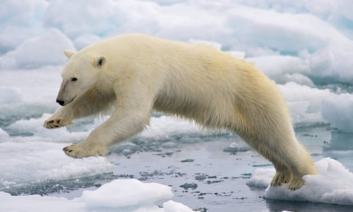 Iceland's Policy Of Killing Polar Bears Harshly Criticised
