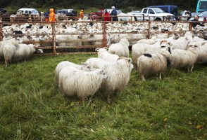 Iceland's Sheep Farmers To Get 5.2 Billion ISK From The Government