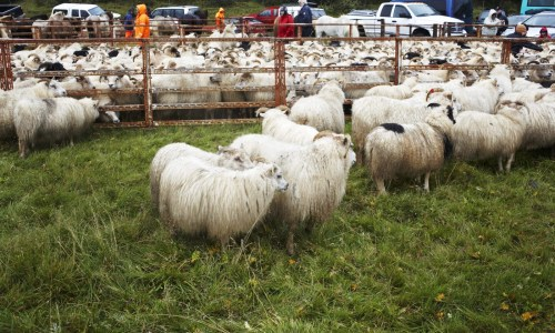 Sheep Death By Car On The Rise